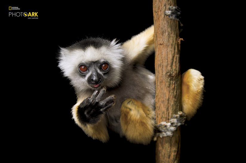 Diademed sifaka, Propithecus diadema (CR) Females may only be fertile one day a year, limiting this lemur's ability to rebuild fragmented populations. LEMUR ISLAND, MADAGASCAR (Photograph by Joel Sartore / National Geographic Photo Ark)