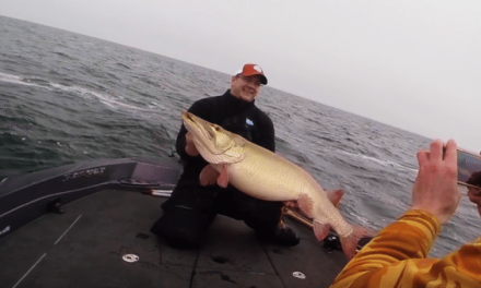 Colossal 50-Pound Mille Lacs Muskie Caught on Video
