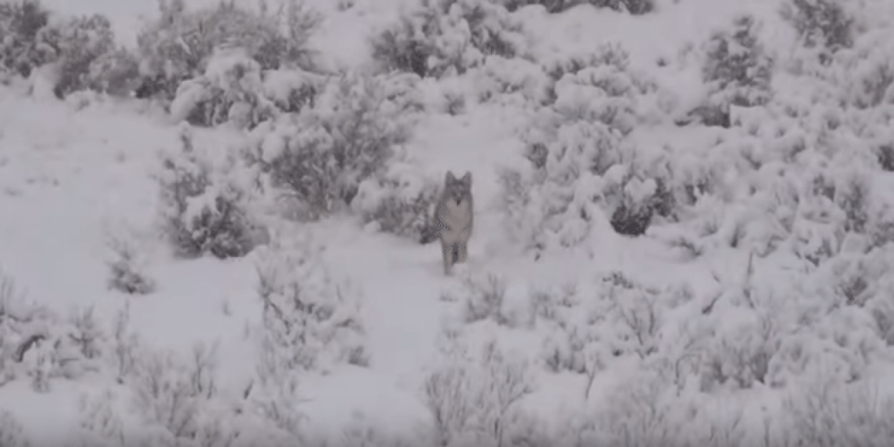 Headshot Stops Charging Coyote Dead in Its Tracks