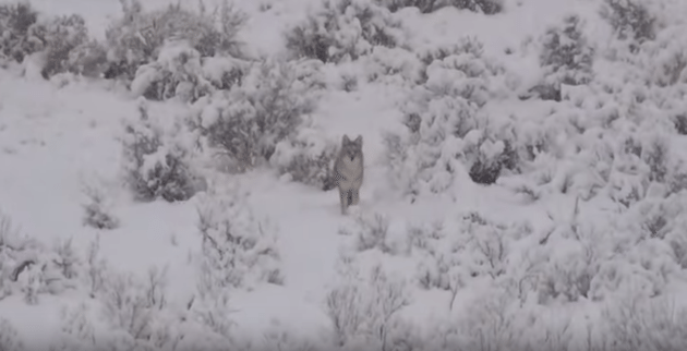 charging coyote, coyote hunting videos