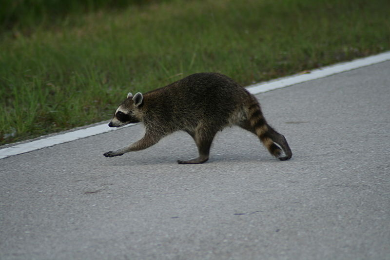 800px-Racoon_crossing_road