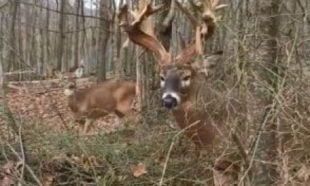 If You Get Close to a Mature Buck and He Makes a Snort Wheeze Like This, Leave