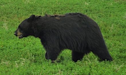 The 5 Best Black Bear Hunting States