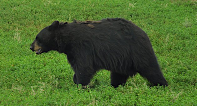 Best Black Bear Hunting States