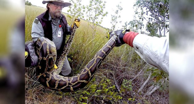 veterans hunting pythons