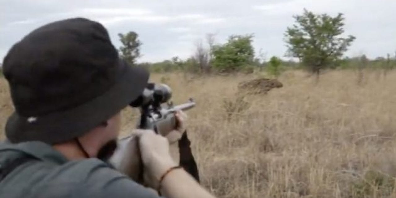 Cape Buffalo Takes Hit After Hit From Big Bore Rifles Before Going Down