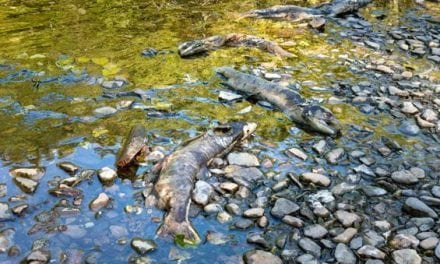 Oregon Announces More Chinook Salmon Closures Due to Die-Off
