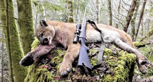 You Won't Believe How This Washington Cougar Hunt Ends!
