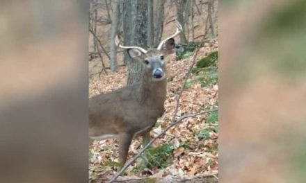 Wide-Antlered Deer's Tunnel Vision for Doe Leads Him to Within Feet of Hunter