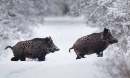 Winter Hog Hunting Tips and Tricks