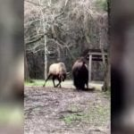 It's a Head-to-Head, Bison vs. Elk Matchup