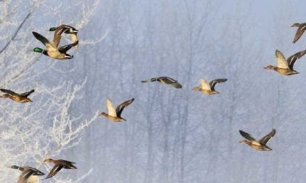New York Waterfowl Guide Indicted a Second Time for Illegal Hunting