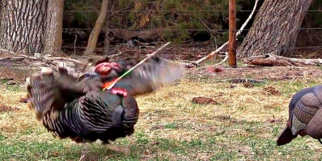 Broadhead Completely Decapitates Gobbler