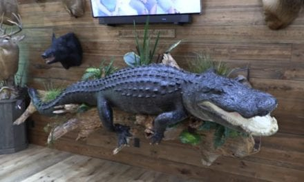 13-foot, 1,100-Pound Alligator Needs a Whole Wall for the Mount