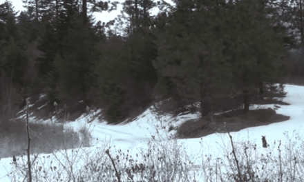 Can You Spot This Mountain Lion Before It Spots You?