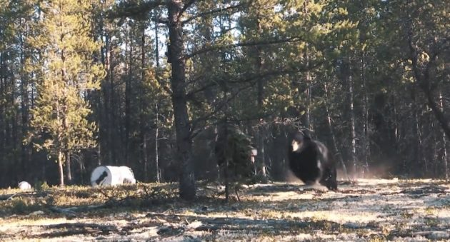 You've Never Seen A Black Bear Fight Like This One In Saskatchewan