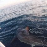 3,000-Pound Great White Shark Caught Off Hilton Head Island