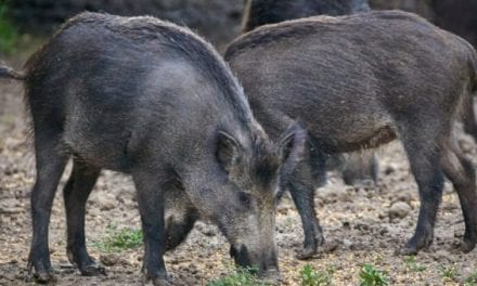 5 Unusual Texas Hog Hunting Methods that are Totally Legal