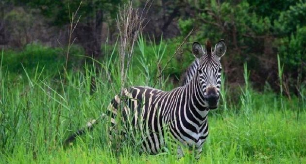 Animals in Africa You Need to Hunt zebra