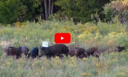 Sounder of Feral Hogs vs Seven Pounds of Tannerite