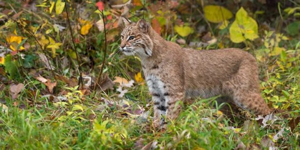Bobcat Facts: How Much Do You Know About North America's Feline Predator?