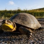 Despite conservation woes, Blanding's turtle keeps smiling