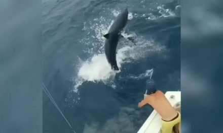 Mako Shark Nearly Leaps in Boat While Chasing Sailfish