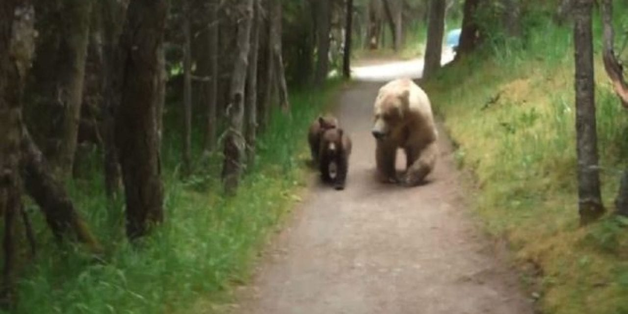 Man Crosses Paths With Mother Bears and Cubs in Tense Footage