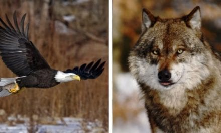 Michigan Man Charged with 125 Wildlife Crimes Including Poaching of Wolves and Eagles