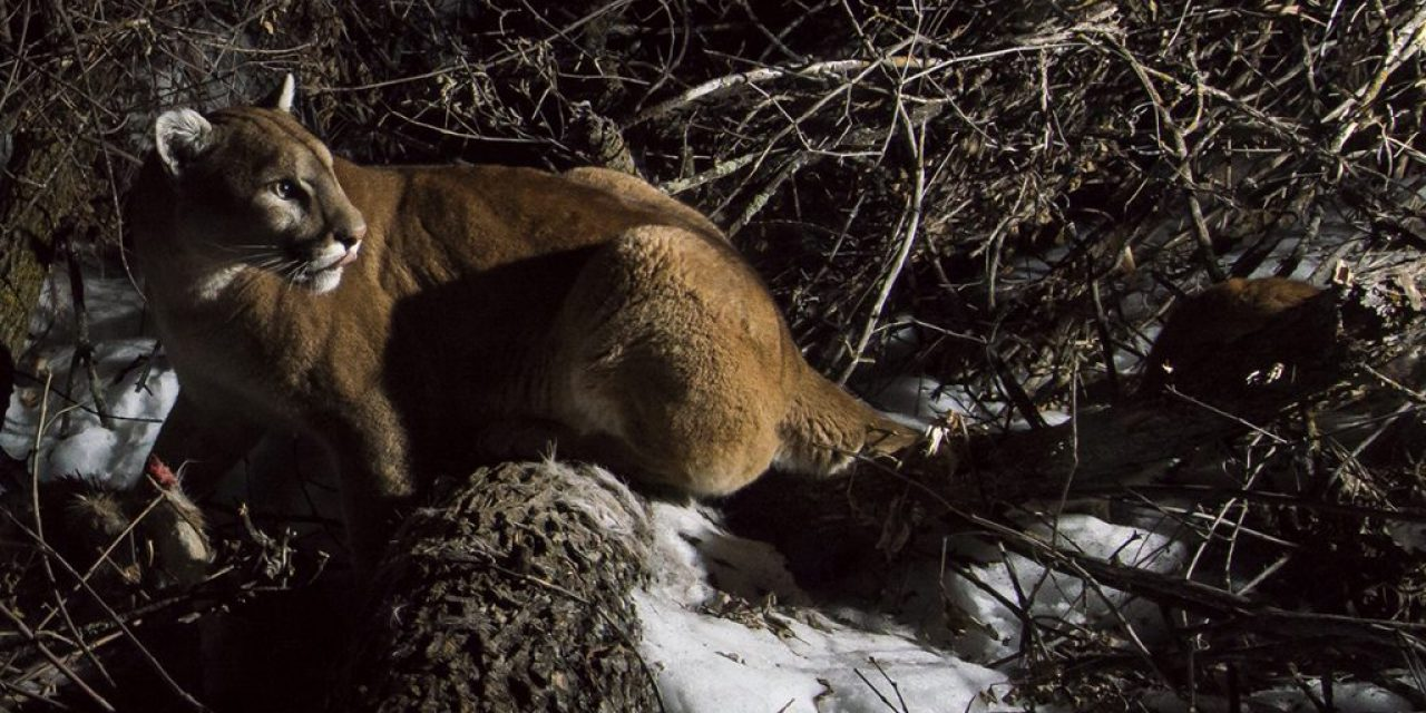 New mountain lion data for the Pine Ridge