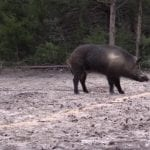 Pigman Smacks a Monster Boar With a .300 Win. Mag