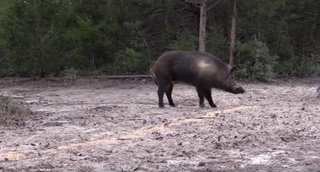 Watch Pigman Absolutely Flatten A Monster Boar With A .300 Win Mag