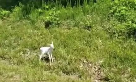 Adorable Albino Fawn Spotted on Roadside