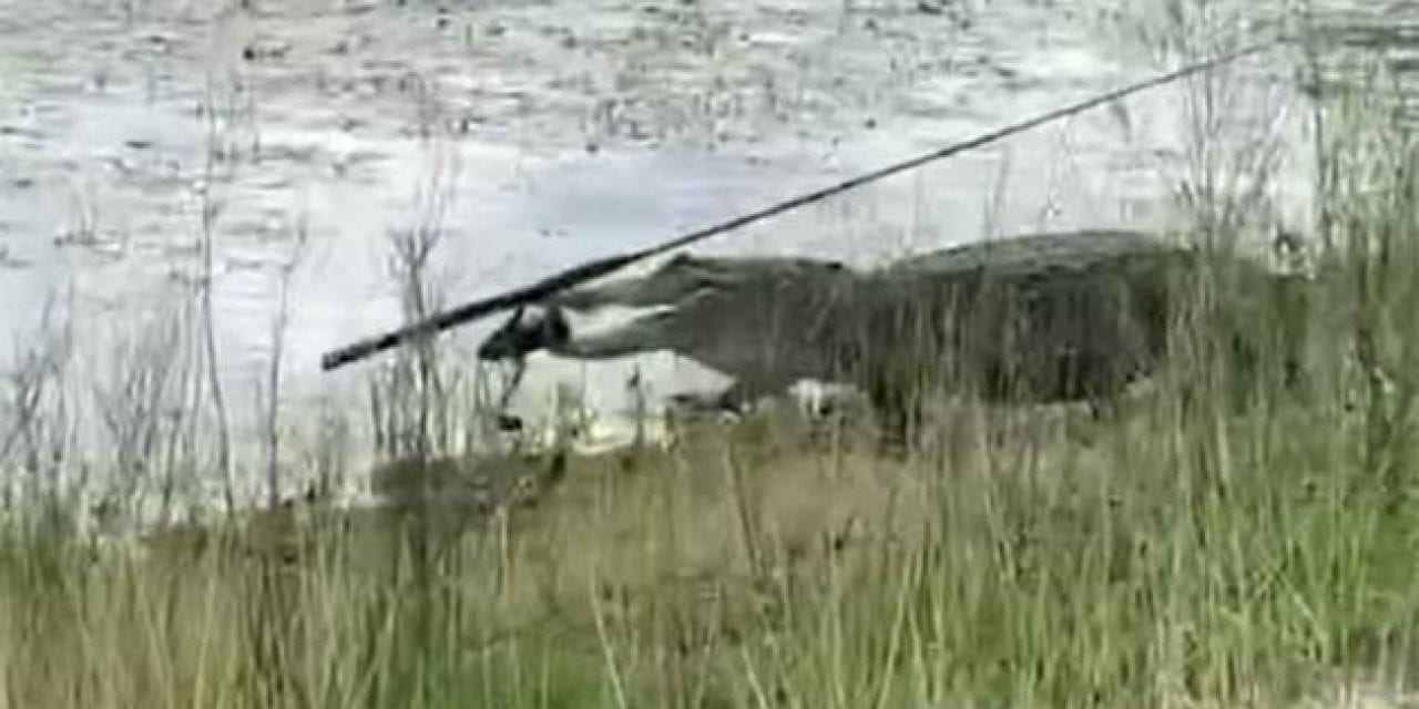 Alligator Steals Angler's Rod and Reel Combo, Swims Away