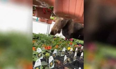Cow Moose With the Munchies Finds Her Way Into Greenhouse, Digs In