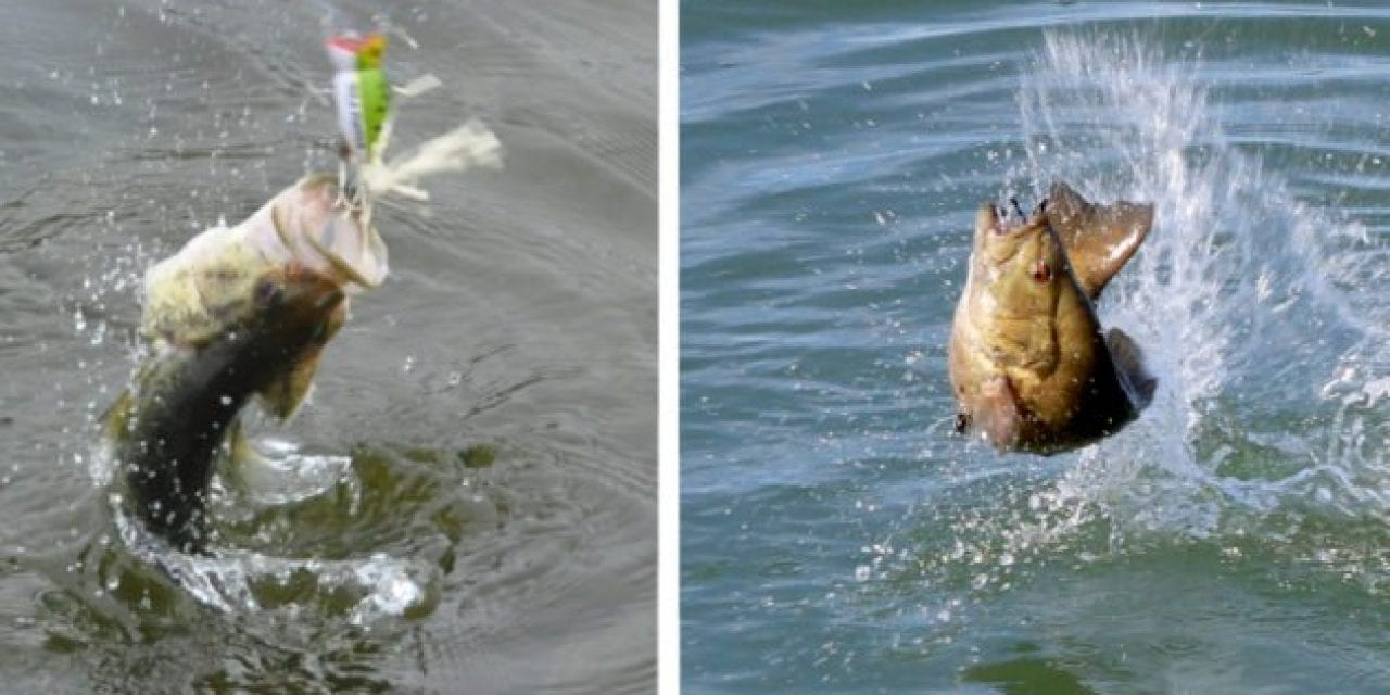 Largemouth vs. Smallmouth: The Game Fish Species Battle for America's Favoritism