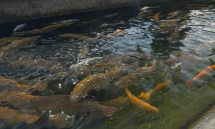 California Plans to Euthanize 3.2 Million Trout at Fish Hatcheries in Response to Outbreak