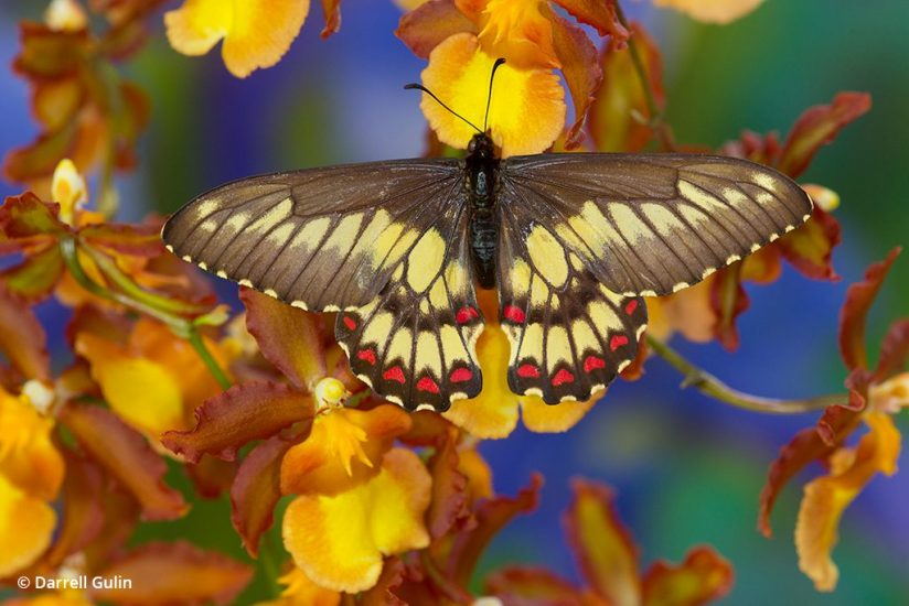 macro photo tips: image of tailless swallowtail butterfly