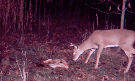 Trail Camera Footages Shows Deer Seemingly Unfazed by Gut Pile