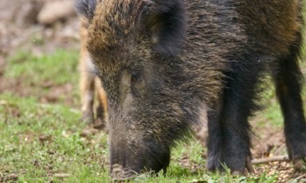 460-Pound Problem Feral Hog Taken by Hunters in Central Texas