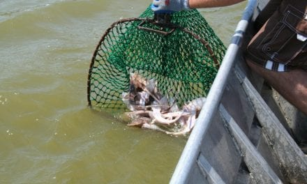 """""""Blinded Me With Science""""–Missouri River Pallid Sturgeon"""
