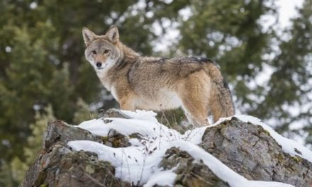 What Do Coyotes Eat? Facts and Info About Nature's Trickster