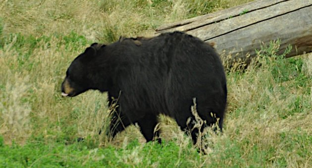 Where to Shoot a Bear With a Bow