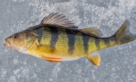 Yellow Perch Species Profile: All the Details on This Delicious Fish
