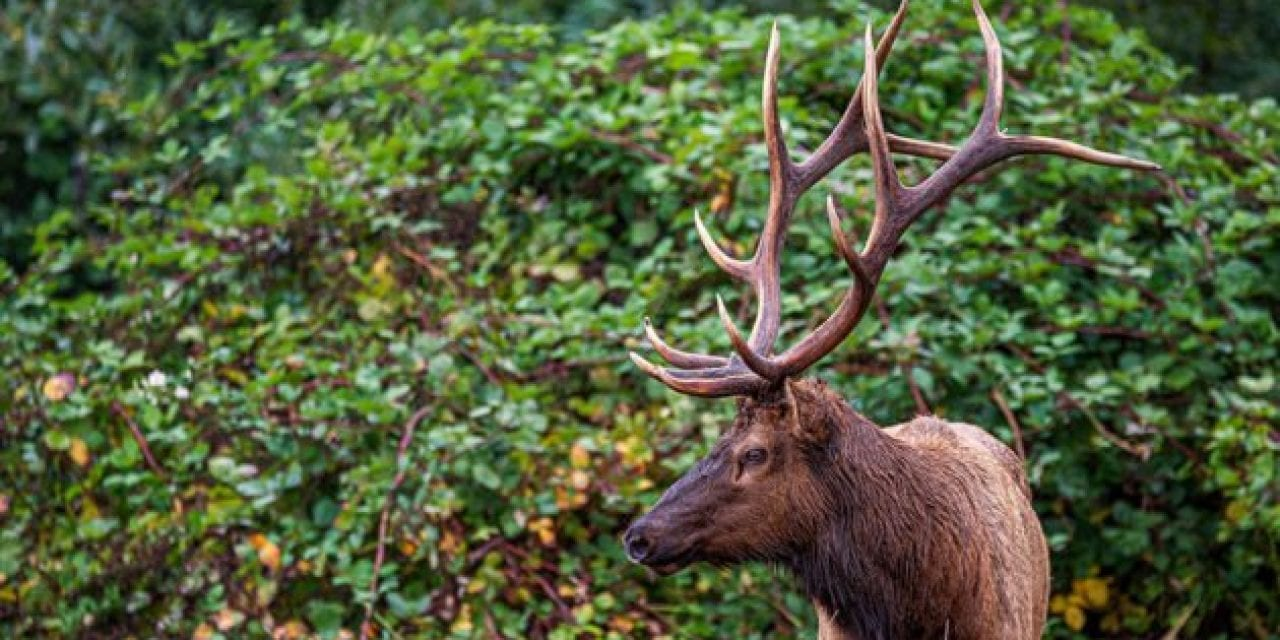 Bowhunter Gored and Killed By Wounded Elk in Oregon