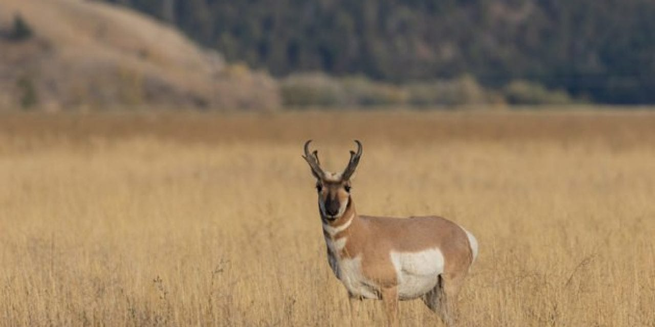 Pronghorn Antelope: Species Facts About the Speed Goat