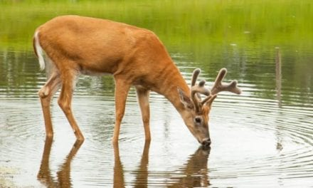 Warm Weather Deer Hunting: How to Beat the Heat for Giant Bucks