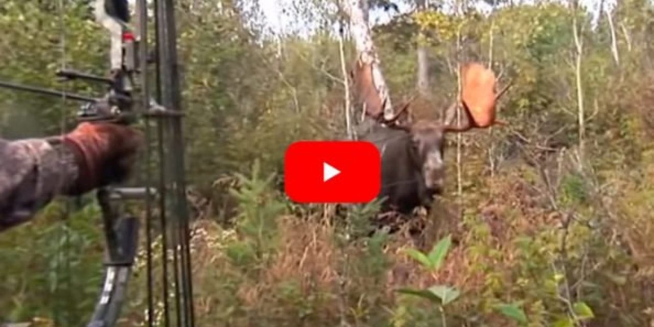 Bowhunter Gets Up Close and Personal With Giant Bull Moose, Makes a Perfect Shot
