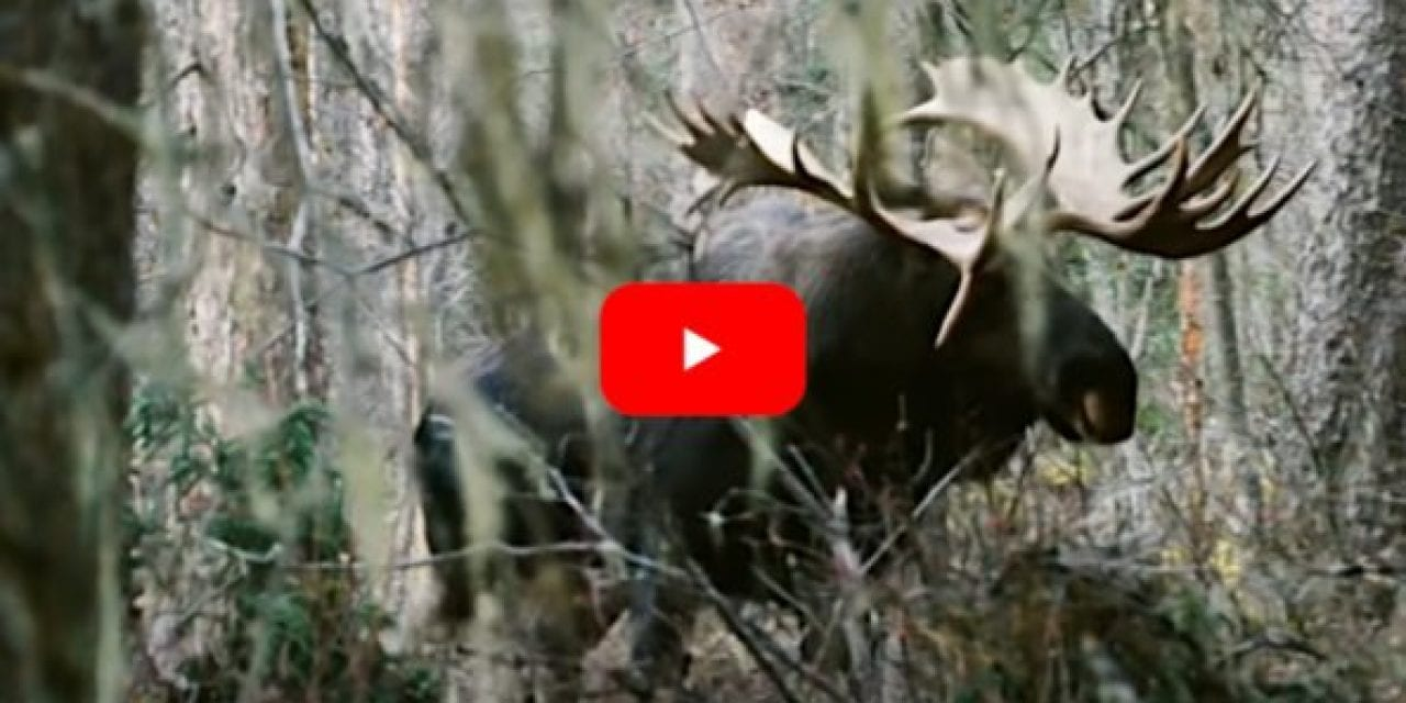 Bowhunter Smokes the Yukon Bull Moose of a Lifetime in Exciting Footage