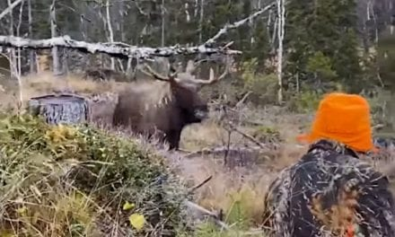Charging Moose Drops at Hunter's Feet After Final, Point-Blank Shot